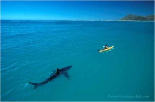 Hipmunk-shark-kayak