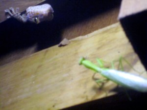 Gecko_vs_praying_mantis